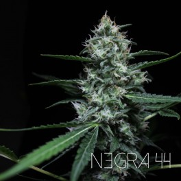 NEGRA44